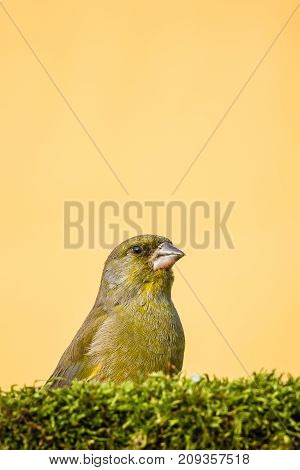 Single Male Greenfinch Bird Sit Behind Moss