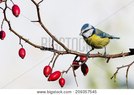 Small Male Blue-tit Perched On Rose Hip Twig With Thorns