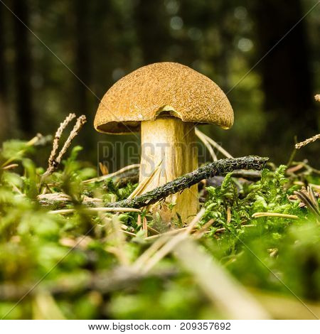 Yellow Cep Mushroom With Nibbled Cap Grows From Moss And Dry Needles