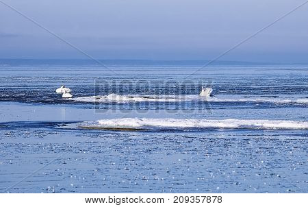 Mute swans between ice floes in the winter in the Finnish Gulf of the Baltic Sea poster