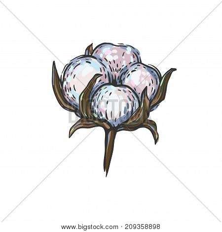 Cotton ball flower. Vector illustration with hand drawn white cotton flower isolated on white.