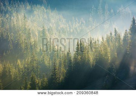 Spruce Forest In Fog On Hillside At Sunrise
