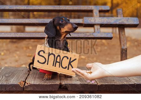dog dachshund with a jacket (sweater) is sitting and begging on a bench in an autumn park with a sign