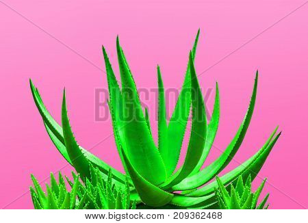 Aloe. Art Gallery Fashion Design. Minimal. Green Neon aloe. Trendy Bright Color. Creative Colorful Style. Fashion Concept on Pink background. Detail