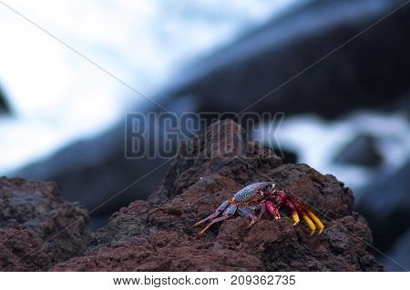 Red Crab On Stone Ejected By Wave
