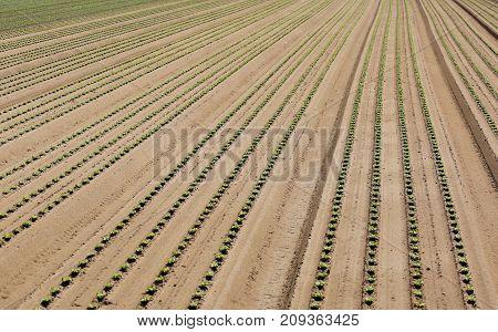 Intensive Cultivation Of Lettuce Growing In Sandy Soil