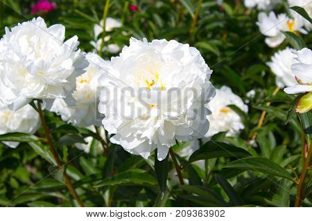 Photo of white peony flower in the garden