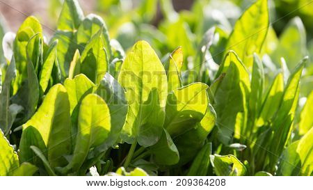 sorrel in the garden on the nature
