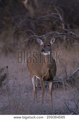 White-tailed deer wandering through the woods in autumn