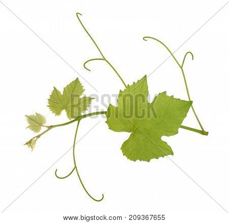 Vine Branch With Leaves