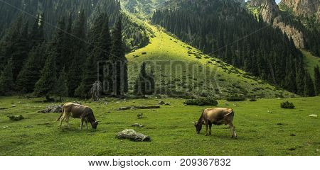 Cows Graze In The Mountains, A Zone Of Alpine Meadows