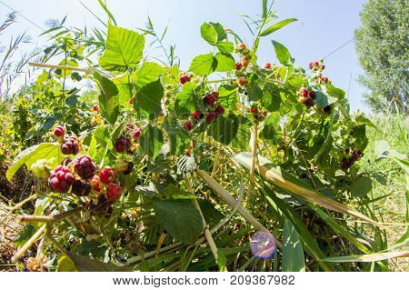 Bush Of Raspberries With Berries Close-up