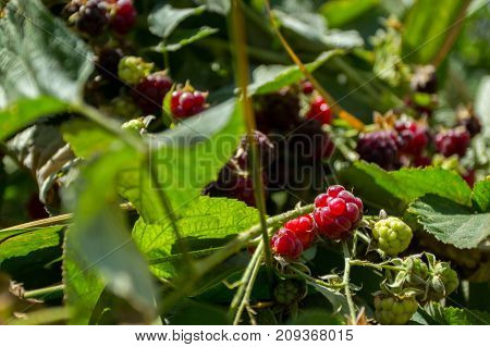 bush of raspberries with berries close up