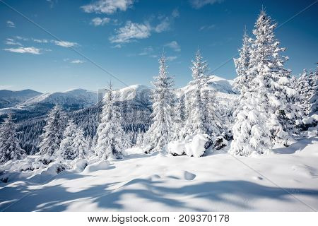 Magic image of spruces glowing by sunlight. Frosty day, gorgeous wintry scene. Location place Carpathian national park, Ukraine, Europe. Climate change. Nice wallpaper. Happy New Year! Beauty world.