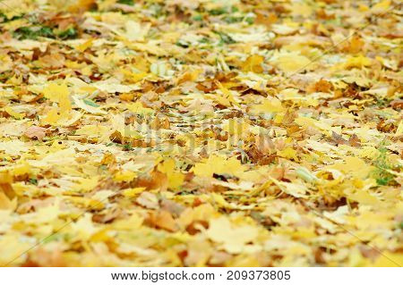 Golden Deciduous Litter From Mix Of Fallen Autumn Maple And Platanus Leaves.