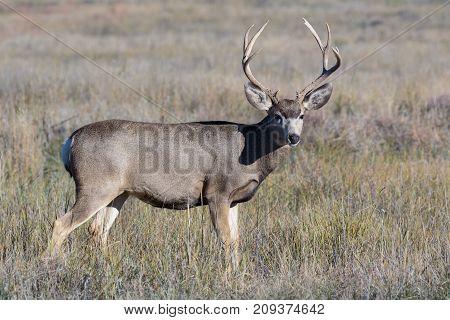 Wild Mule Deer buck on the Colorado Prairie