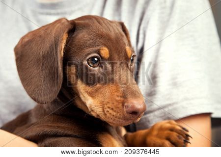 dog puppy breed dachshund on the shoulder of a boy, a teenager and his pet sad
