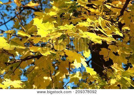 Yellow maple foliage on a sunny autumn day.
