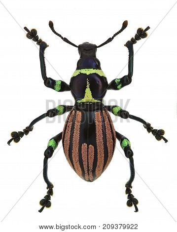 exotic weevil Pachyrhynchus loheri  isolated on white