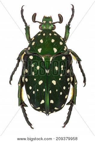 Protaetia niveoguttata beetle isolated on white background