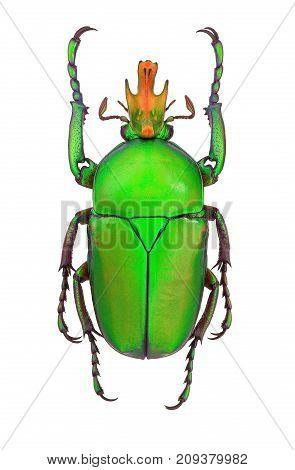 Taurhina longiceps, a flower beetle from Tanzania