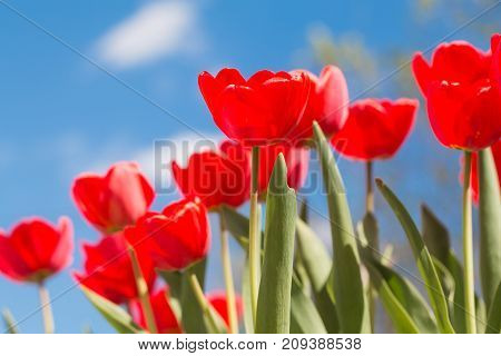 Flowering red tulips. Tulips against the blue sky. The stalks of tulips.