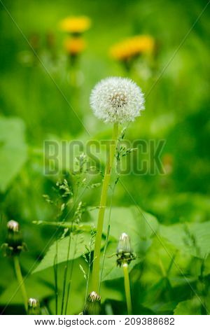 White dandelions. Stems of green grass. Green grass on the field. Yellow dandelions