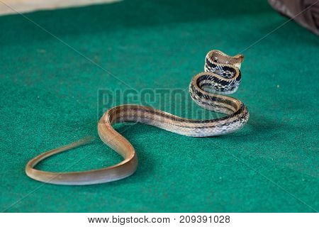 Snake With A Flat Neck, Aggressive