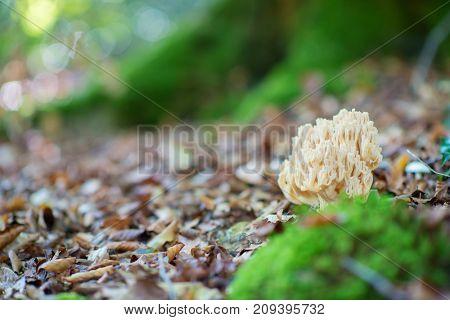 Deer horns mushroom. Bear paw mushroom. Coral yellow mushroom. Eatable mushroom grow in autumn forest among fallen leaves.