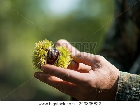 Edible chestnut in male hands over nature background.