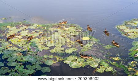 ducks in the turbid pond at summer. wildlife nature.