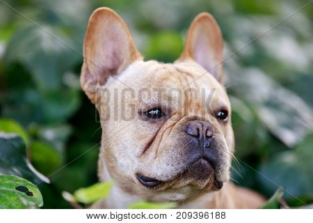 Tan French Bulldog Head with Ivy background.