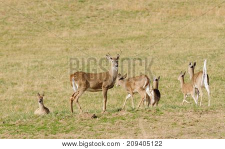 Whitetail deer herd in a feild