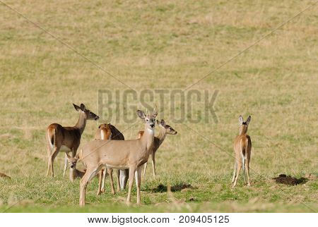 Whitetail buck with deer herd in a field