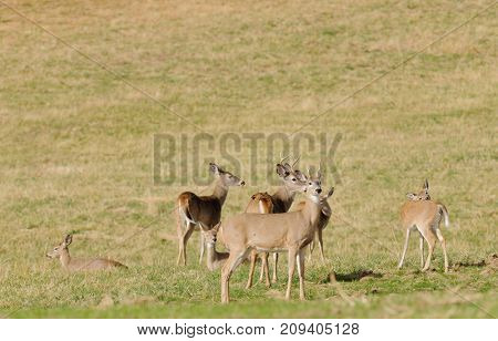 Whitetail bucks in a herd on a farm field
