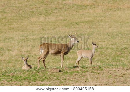 Whitetail buck with two fawns