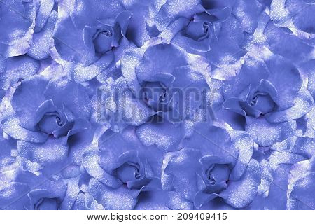 Floral light blue background from roses. Flower composition. Flowers with water droplets on petals. Close-up. Nature.