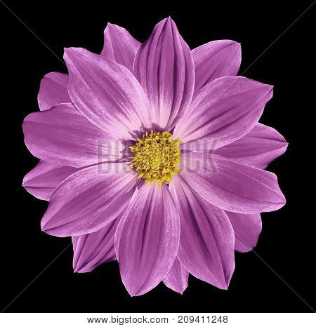Pink flower daisy on the black isolated background with clipping path. Closeup. Nature.