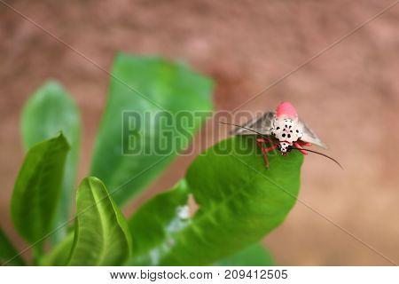 Pink butterfly on a green leaf in the garden in Thailand.