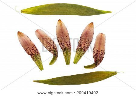 Pressed and dried petals of flower lily martagon (lilium martagon) isolated on white background. For use in scrapbooking pressed floristry or herbarium.