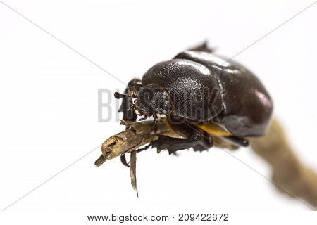 Rhino Beetle (dynastinae) On White