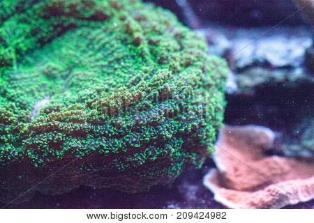 Green bubble coral also called green anemone in a coral reef tank
