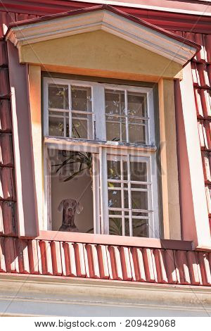 A dog watching the people going by his house through an open window in Tallinn Estonia.