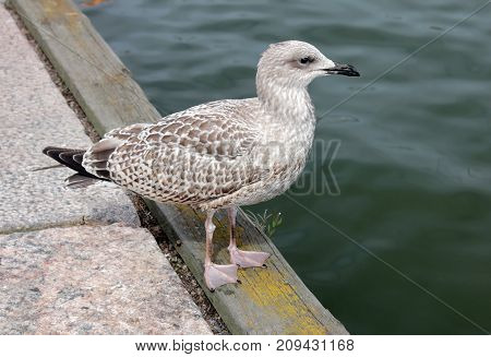 Side view of Juvenile European Herring Gull standing on pier in a harbor. European Herring Gull is one of the best known of all gulls along the shores of western Europe.