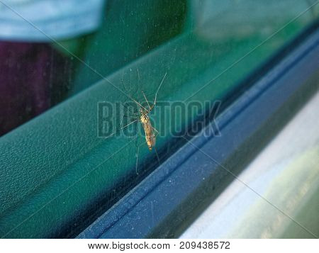a large mosquito on the windshield of a car in summer, Russia