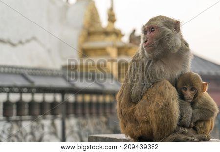 Sacred monkeys in Swayabunath temple in Kathmandu. macaque rhesus mother and baby