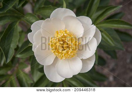 It is image of beautifull flower Peony