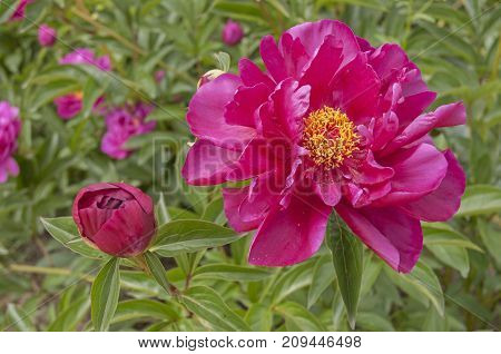 It is image of beautifful flower Peony