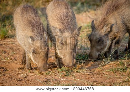 Group Of Warthogs Eating Grass.