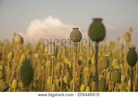 It is image of field full of Poppy heads